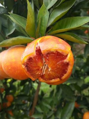 这是一张关于塔罗科血橙 70-75mm 4-8两 的产品图片