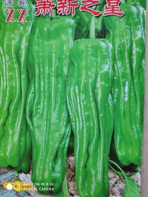 这是一张关于萧新之星灯笼椒 杂交种 ≥85% 的产品图片