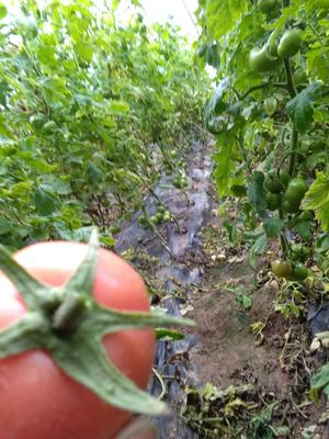 山东省菏泽市成武县硬粉番茄 通货 弧一以下 硬粉