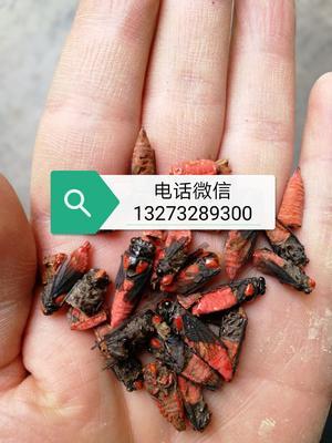 这是一张关于药材红娘子红虫娘红 干 的产品图片