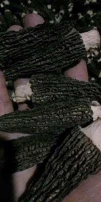 四川省成都市崇州市羊肚菌 干货 6cm~8cm 尖顶 灰黑色 人工种植