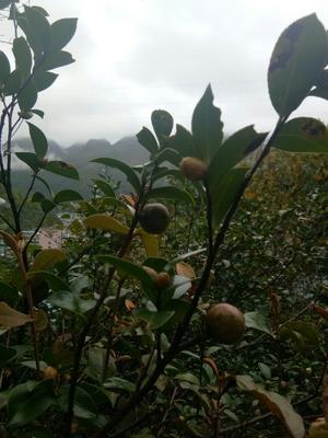 广西壮族自治区百色市那坡县油茶籽