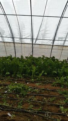 河北省石家庄市井陉矿区美国文图拉芹菜 80cm 1.0~1.5斤 大棚种植