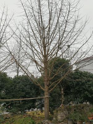 湖南省常德市桃源县银杏实生树