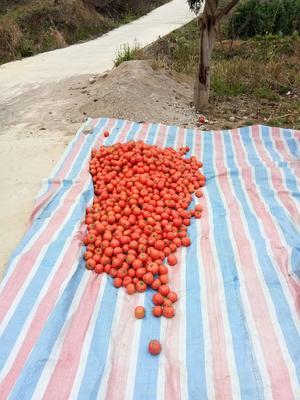 贵州省安顺市镇宁布依族苗族自治县大红硬果 通货 弧二以上 大红