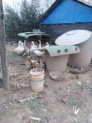河南省漯河市郾城区鲜鹅蛋 食用 散装