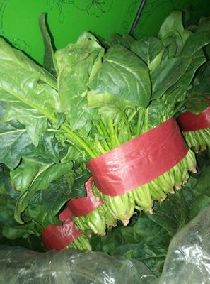 山东省泰安市新泰市越冬菠菜 25~30cm