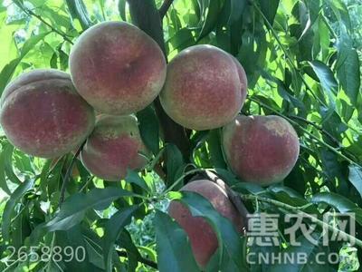 山东省临沂市平邑县冬桃树苗 1~1.5米