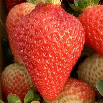 云南省昆明市官渡区甜查理草莓 20克以下