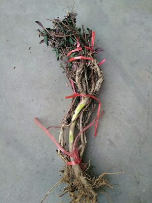 这是一张关于红色金银花苗 10公分以下 的产品图片