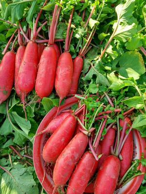 安徽省宿州市埇桥区大红萝卜 1~1.5斤