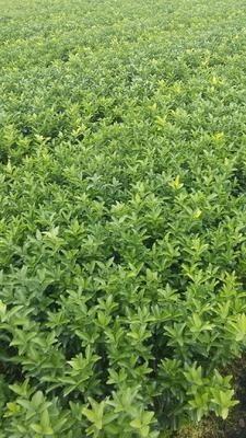 这是一张关于沙糖桔苗 嫁接苗 0.5~1米 的产品图片