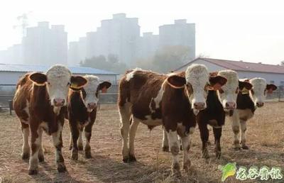 云南省曲靖市马龙县原生态黄牛 600-800斤 母牛
