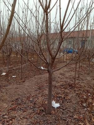 天津蓟县大樱桃树 3~3.5米 4~6公分
