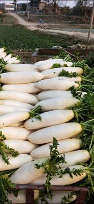 重庆潼南县白萝卜 2.5~3斤