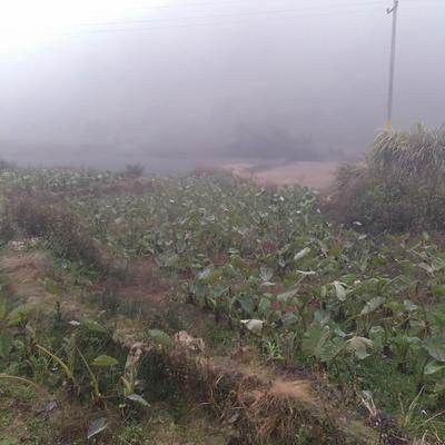 广西壮族自治区贺州市八步区香芋 5cm以上
