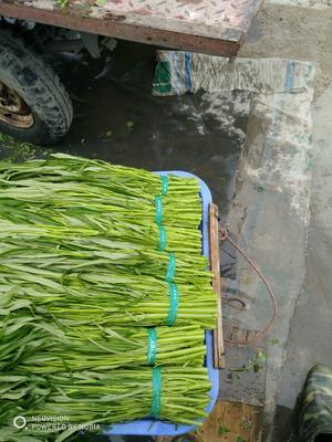广东省广州市白云区青梗子蕹菜 35 ~ 40cm