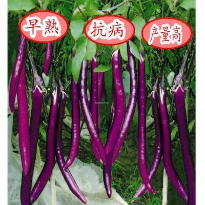 江西省南昌市南昌县茄子种子 杂交种 ≥95%