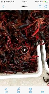 安徽省宣城市广德县青红虾 4-6钱 塘虾