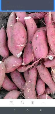 安徽省宿州市泗县商薯19号 混装通货 红皮