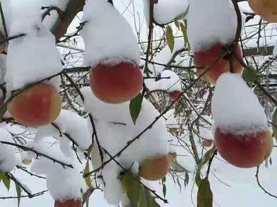 雪桃苗 包品种包成活