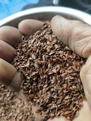 这是一张关于柳杉种子  的产品图片