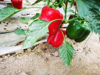 这是一张关于五彩椒 15~20cm 甜辣 红色 的产品图片