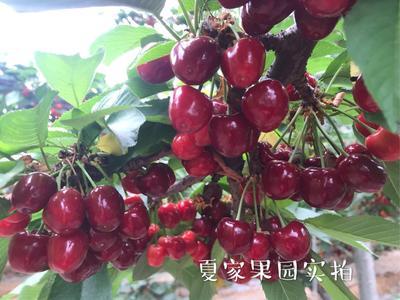 山东省潍坊市青州市美早樱桃 28-30mm 18-20g