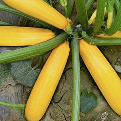 福建省南平市建瓯市香蕉西葫芦种子