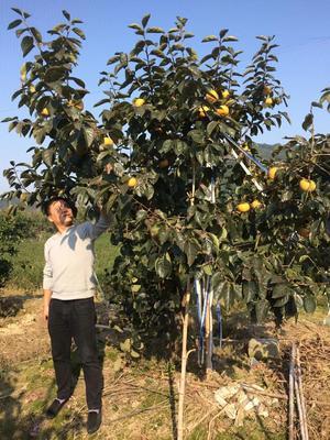 江西省赣州市瑞金市太秋甜柿 4 - 5两以上