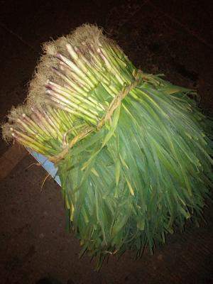 这是一张关于红根蒜苗 50 - 60cm 的产品图片