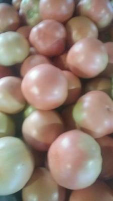河北省唐山市乐亭县硬粉番茄 通货 弧二以上 硬粉