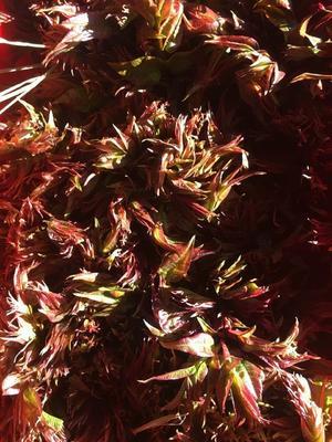 这是一张关于红香椿芽 9~12cm 的产品图片