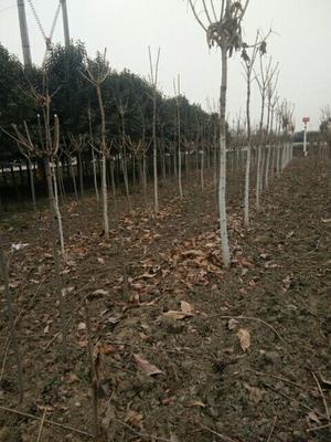 陕西省西安市周至县日本红叶樱花 1.5~2米 4~6公分