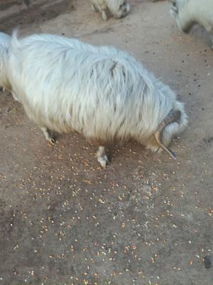 这是一张关于绒山羊 80-110斤 的产品图片