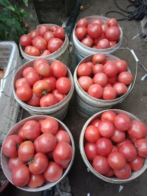 山东省青岛市胶州市硬粉番茄 通货 弧二以上 硬粉