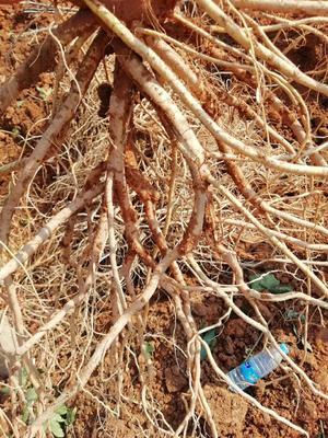 这是一张关于五指毛桃苗 0.5米以下 的产品图片