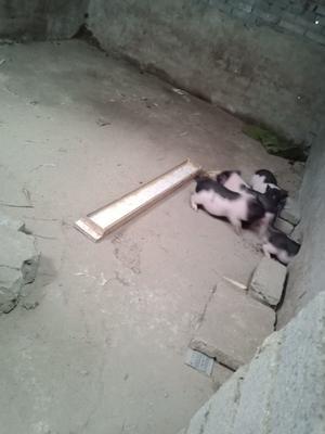 河南省驻马店市上蔡县巴马香猪 20-40斤