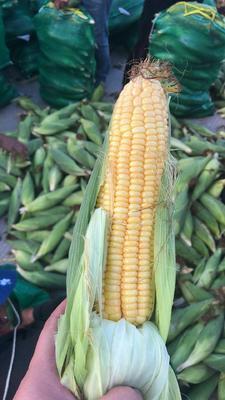 云南省临沧市耿马傣族佤族自治县甜玉米 带壳 甜