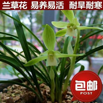 贵州省铜仁市江口县中国龙兰花 不含盆