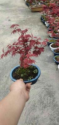 这是一张关于日本红枫 的产品图片