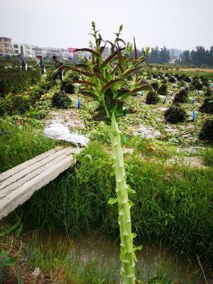 福建省福州市福清市红尖叶莴苣 2斤以上 60-70cm