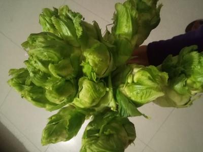 四川省泸州市泸县四川儿菜 2.0斤以上