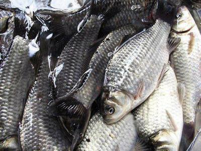 这是一张关于中科三号鲫鱼 人工养殖 0.25-1公斤 的产品图片