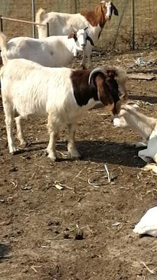 这是一张关于波杂山羊 30-50斤 的产品图片