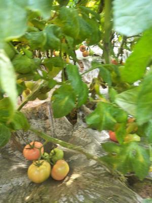 山西省晋中市榆次区普罗旺斯番茄 通货 弧二以上 软粉