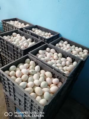 江苏省扬州市高邮市麻鸭蛋  食用 箱装 高邮麻鸭蛋,双黄蛋草