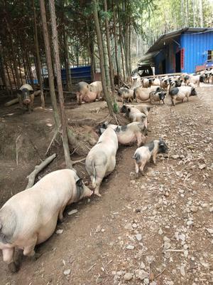 福建省南平市顺昌县巴马香猪 60斤以上