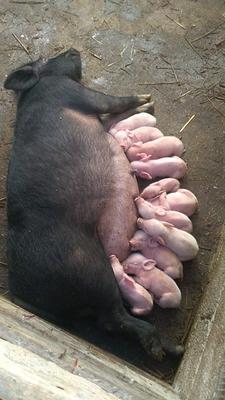 广西壮族自治区梧州市岑溪市陆川猪 20-25斤