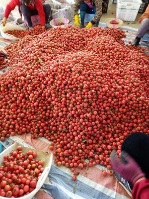 四川省攀枝花市米易县粉贝贝小樱桃柿 精品 弧一以下 硬粉